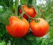tomates-rondes